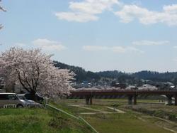 Kamosakura